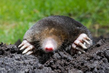 Eastern Mole Pest Identification