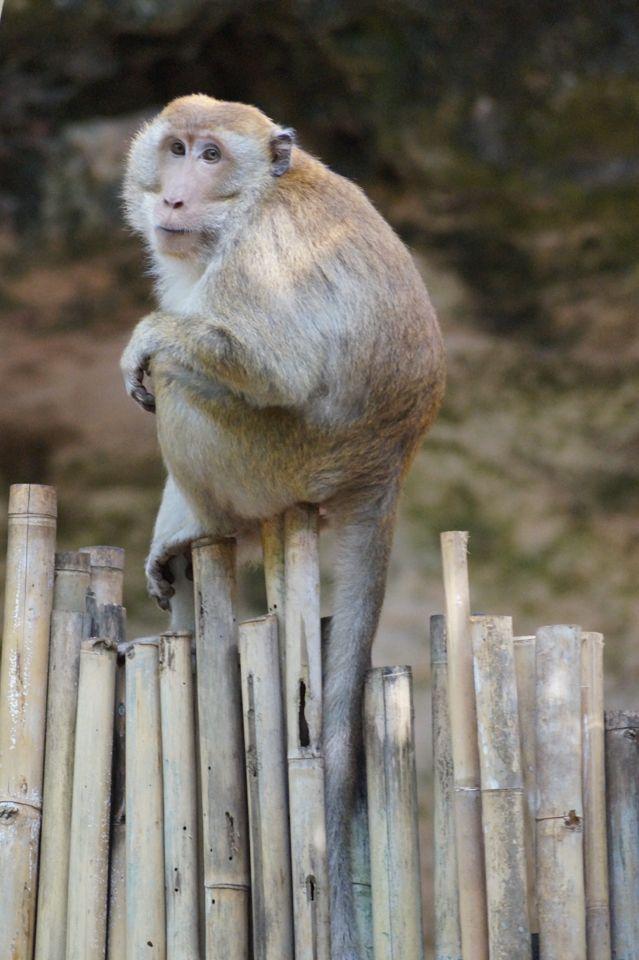 Monkey at Krabi