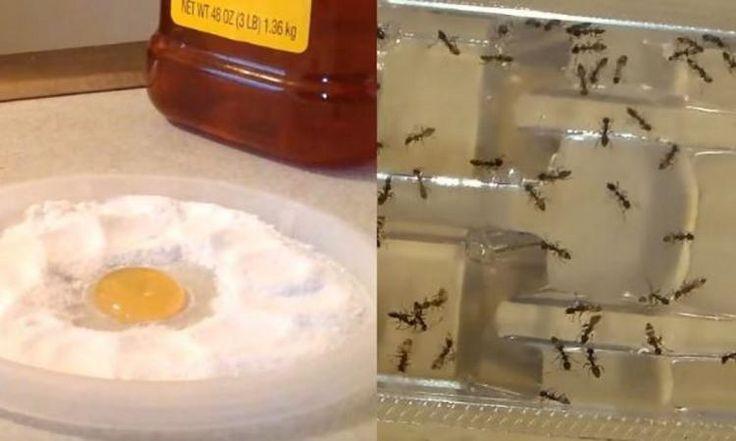 Plus jamais vous verrez une seule fourmi, une puce ou un cafard dans votre maison grâce à 1 ingrédient puissant!