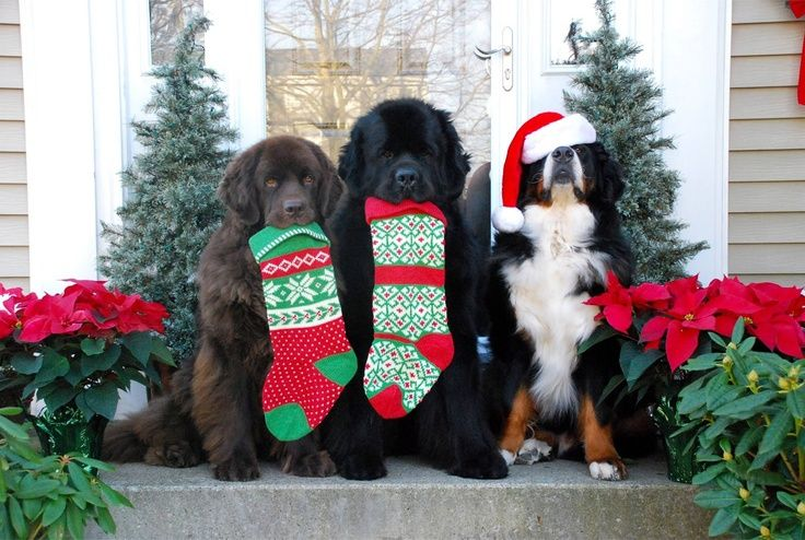 Newfoundland Dogs and Bernese Mountain Dog showing their love for Christmas