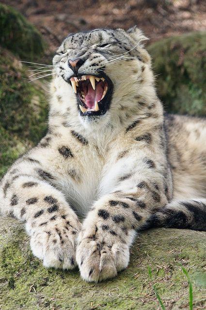 Male [Tom] Snow Leopard (Panthera uncia) at Woodland Park Zoo, Seattle WA.
