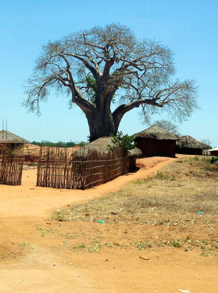 Baobab, Mozambico, Africa