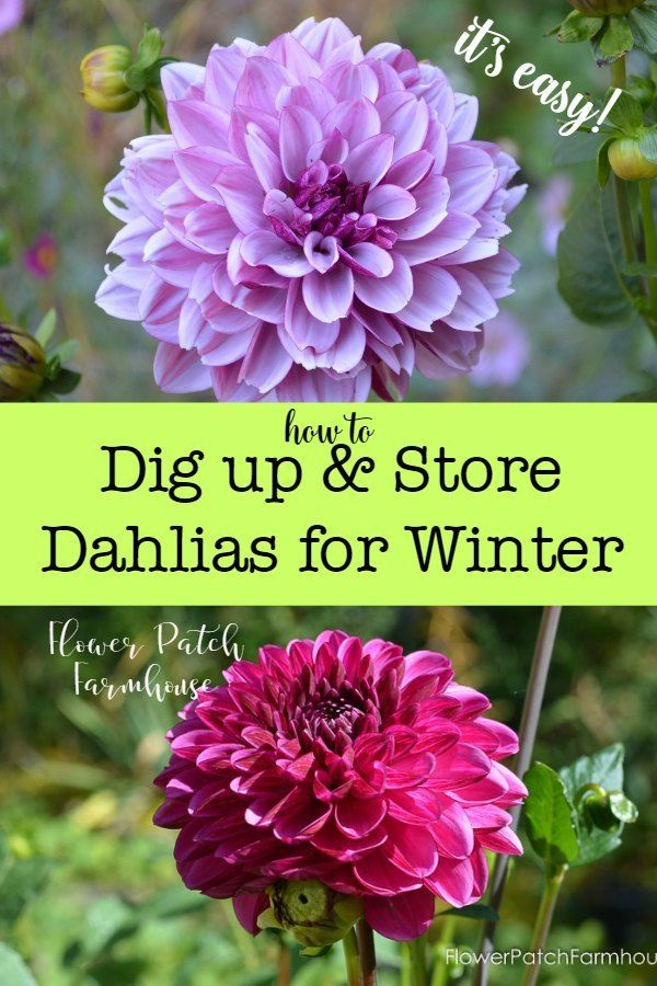Easy Dig Up Dahlias For Winter Storage Garden Types Winter