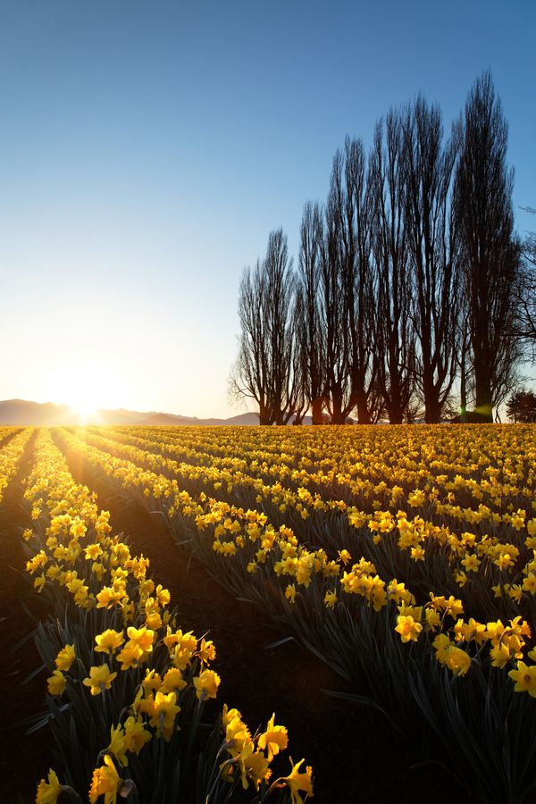 35 Beautiful Outstanding Photos of Landscape Photography - Skagit Valley Daffodils