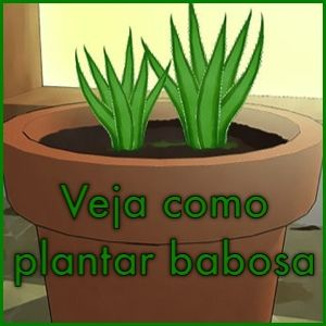 A Aloe Vera conhecida popularmente como Babosa, é uma planta com excelentes propriedades curativas, possui uma substancia que é utilizada normalmente em pr
