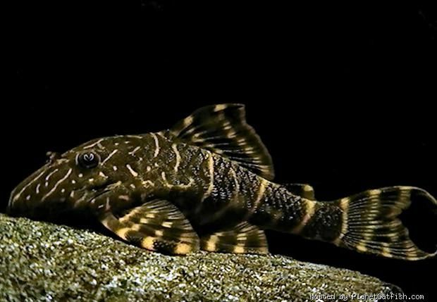 Clown Pleco - Panaqolus maccus - I have one in my 75 gallon aquarium, and one in my 29 gallon aquarium.