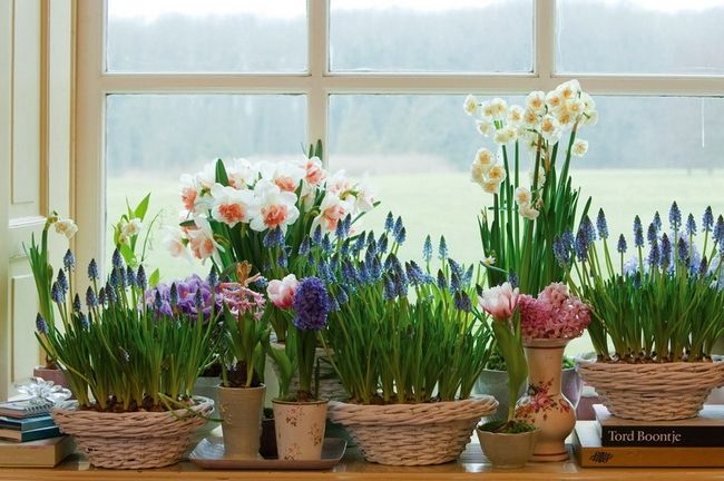 spring decorations home spring blooming bulbs window sills baskets