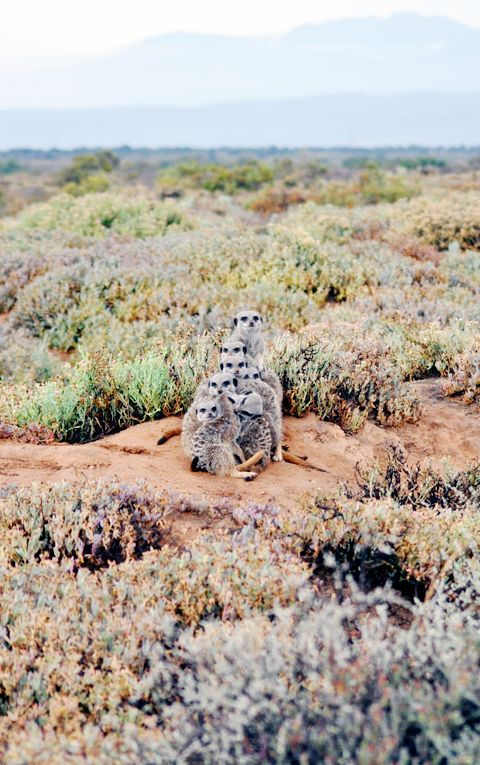 Wild meerkats, South Africa, Garden Route tours including Meerkat Adventures.