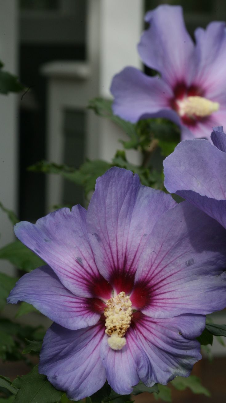 Azurri Blue Satin Will Reach 8 12 Feet In Your Landscape And Is Hardy In Zones 5 Through 9 Gorgeous Blooms With A Bonus That This Plant Is Seedless W Hibiskus