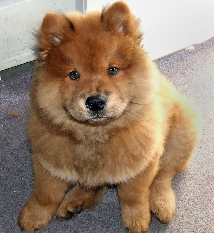 Red Chow Chow Puppy .