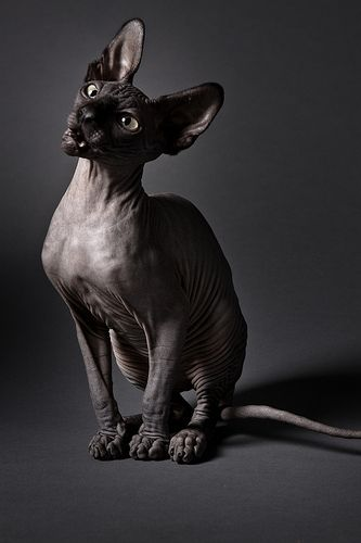 Sphynx Cat * * Well tough, I wanna go to Eygpt and  see the Great Sphynx ! ""