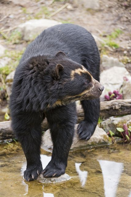 Spectacled Bear Of the Andes, Cubs stay with their for mother for 3 years, the longest of any bears. Like Giant Pandas, they usually have 1-2 cubs. Bamboo can make up 70% of their diet.