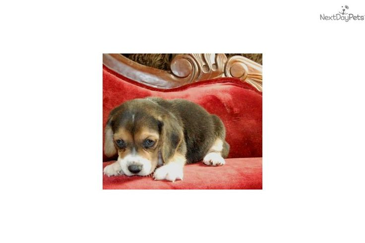 Meet Mini Beagles Pups a cute Beagle puppy for sale for $600. Male Mini Beagle Puppies Available