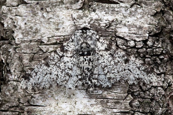 19+ What animals eat the peppered moth ideas in 2021