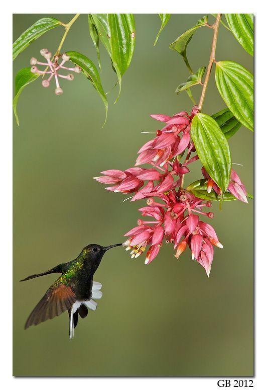 684 Best Hummingbirds Images On Pinterest Beautiful Birds Humming