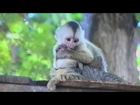 Funny Monkey Forcefully Kisses Adorable Cat | Laugh Daily
