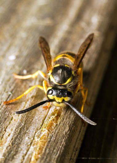 Was hilft gegen #Wespen? 7 natürliche #Tipps ohne Chemie