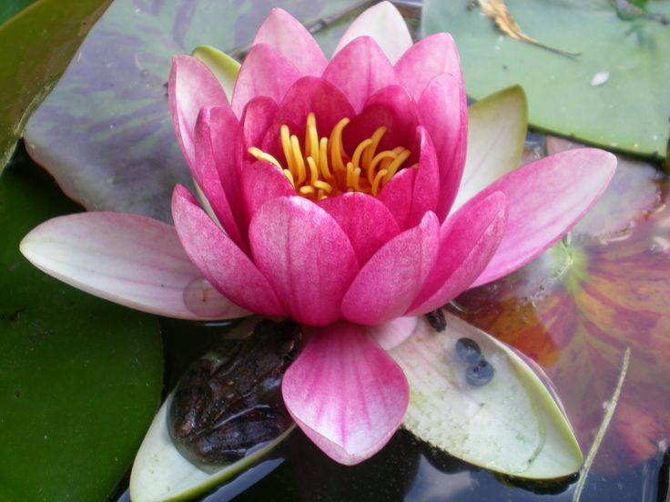 Lilia wodna z żabą