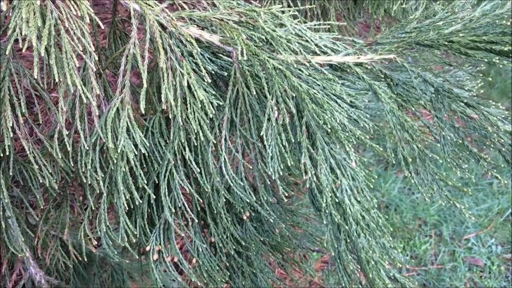 Giant redwood (Sequoiadendron giganteum) - leaves - March 2018