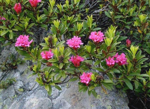 Rhododendron ferrugineum #2