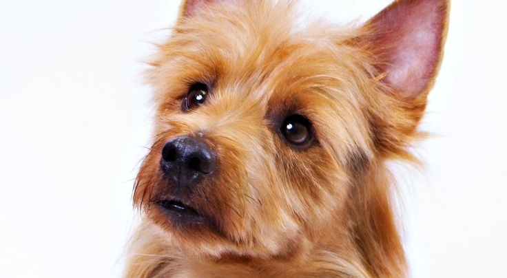 Is the Australian Terrier a great breed for you? Australian Terrier information including personality, history, grooming, pictures, videos, how to find a Australian Terrier and AKC breed standard.