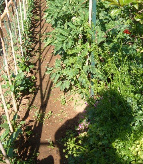 Coltivare i pomodori. Il problema dei palchi troppo distanziati