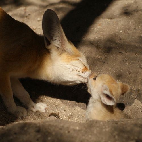 Fennec fox and her kit.  Too adorable.