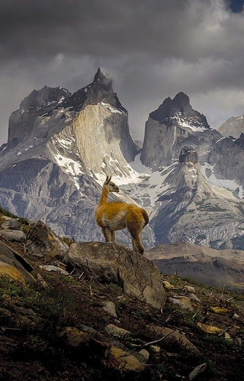 A guanaco (lama) in the astounding Torres del Paine National Park in the south…