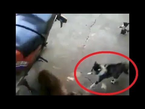 WATCH: Cat Fights Dog To Protect Her Kitten   Mama Cat Quickly Becomes Mama Bear   Cat Attacks Dog - YouTube