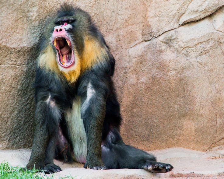 Małpy skaczą niedościgle, małpy robią małpie figle. Proszę spojrzeć na pawiana. Co za małpa proszę pana. J.Brzechwa