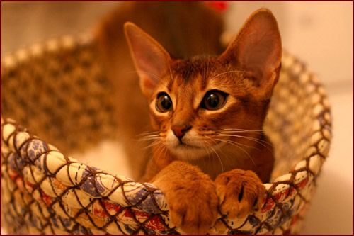 Abytopia Abyssinians - Abyssinian breeder, Abyssinian kittens, Abyssinian cats