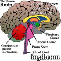 The pineal gland (also called the pineal body, epiphysis cerebri, epiphysis or the 'third eye') is a small endocrine gland in the vertebrate brain. It produces melatonin, a hormone that affects the modulation of wake/sleep patterns and photoperiodic (seasonal) functions
