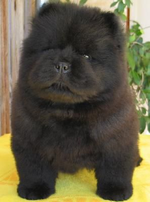 Black Chow Chow puppy.