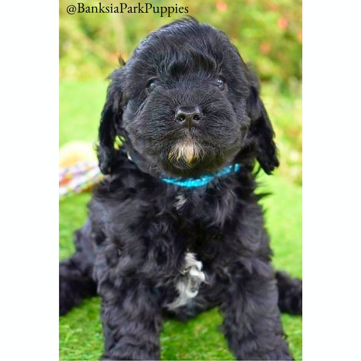 Https Www Banksiaparkpuppies Com Au Puppies Cavoodle Puppies Html Puppies