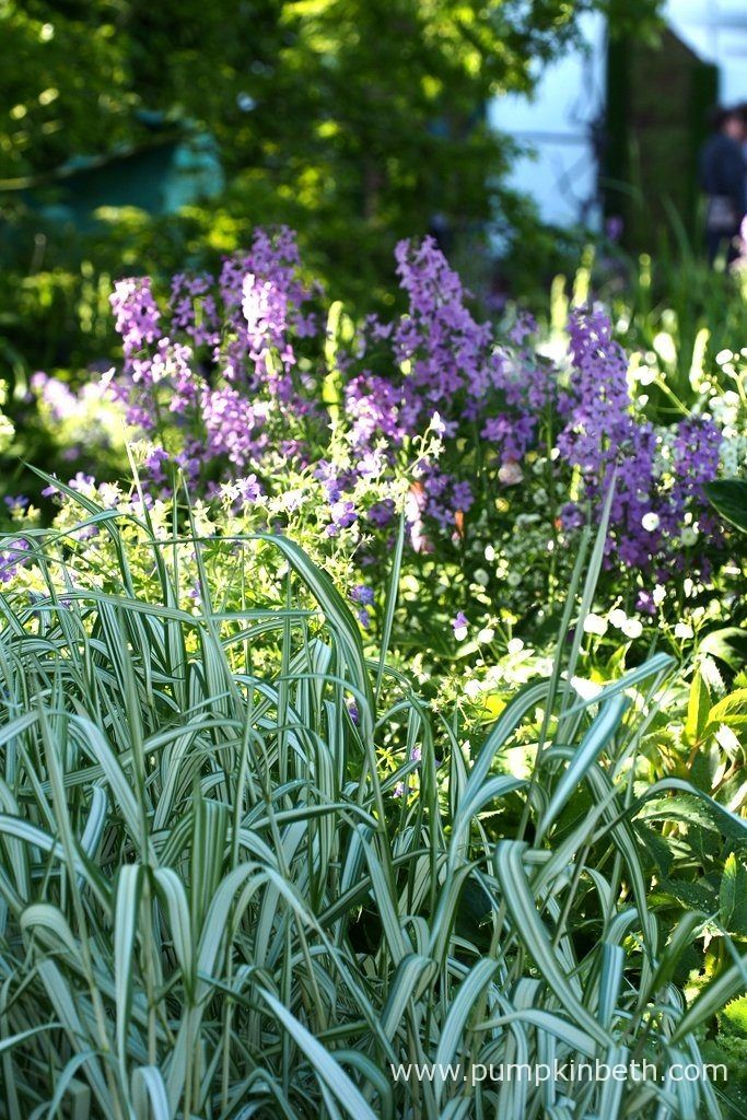 The striped leaves of Phalaris arundinacea var. picta 'Feesey' in the foreground, and the purple flowers of Hesperis matronalis in the background of The Morgan Stanley Garden for great Ormond Street Hospital. Pictured at the RHS Chelsea Flower Show 2016.