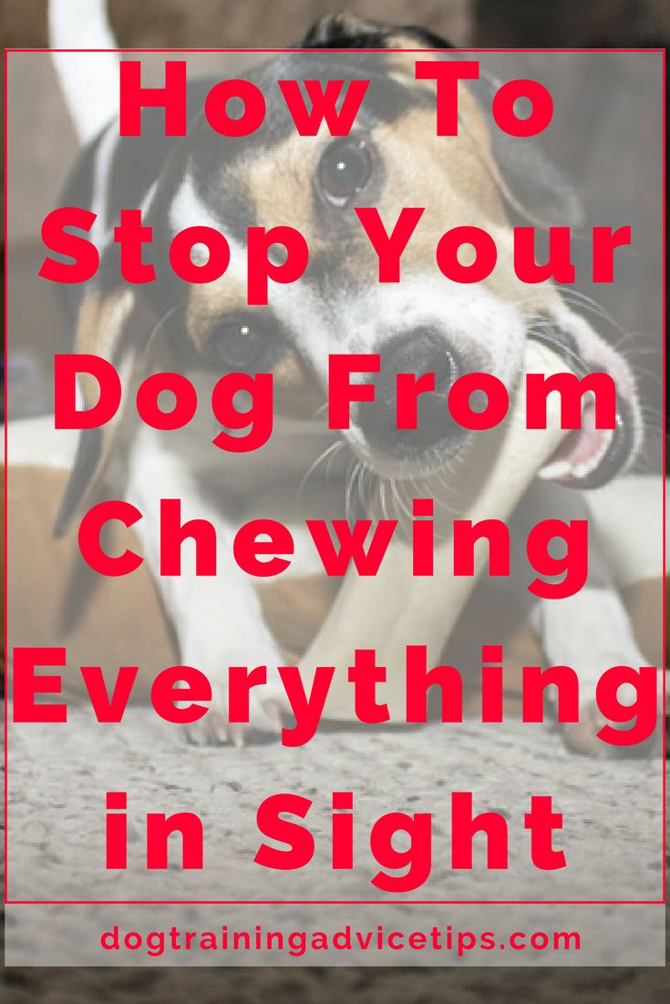 How To Stop Your Dog From Chewing Everything in Sight | Dog Training Tips | Dog Obedience Training | Dog Training Commands | http://www.dogtrainingadvicetips.com/stop-dog-chewing-everything-sight