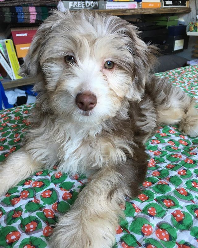 Pin for Later: 25 Adorable Dog Hybrids You Had No Idea Existed Aussiedoodle: Australian Shepherd + Poodle