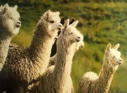 lama's hebben een superiore wol...mooie dieren