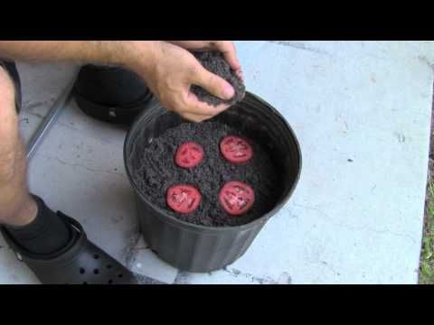 The Absolute Easiest Way to Grow Tomatoes