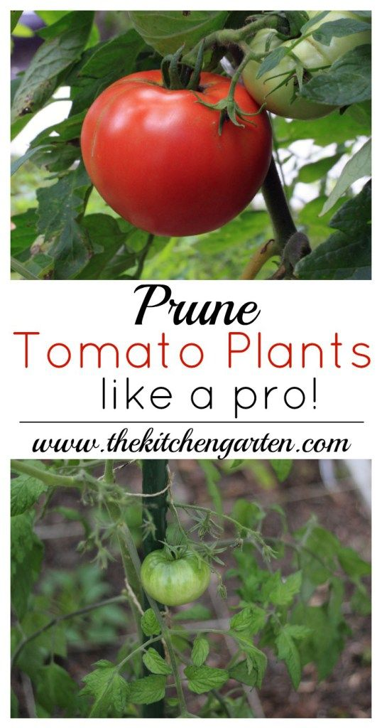 Grab these easy tips and instructions on how to prune tomato plants like a pro! For a larger harvest, it only takes a little trimming!