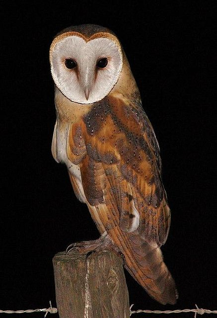 Barn Owl -- if you ever hear there territorial screech at night it can be terrifying. It sounds like a person, dog, or deer caught in a trap.