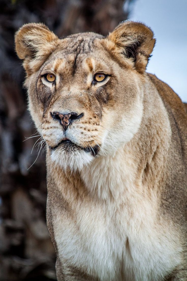 Queen Lioness by Don Heffern