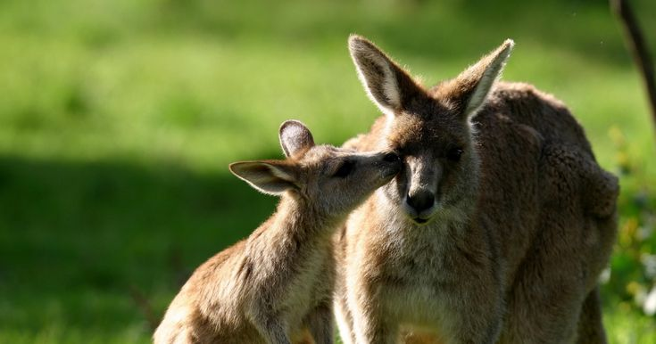 STOP THE KANGAROO MASSACRE! Every year the ACT government pushes ahead with its kangaroo 'management' cull program- approving plans to slaughter hundreds of kangaroos!  And every year, evidence has emerged of kangaroos facing prolonged and agonising deaths. UNCONSCIONABLE!  PLZ SIGN AND SHARE WIDELY IN CONDEMNATION!