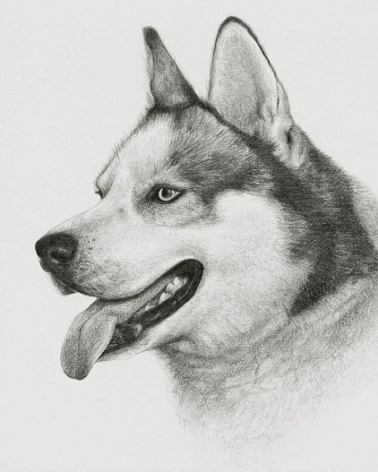 Drawing of a siberian husky
