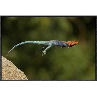 East Urban Home Red Headed Rock Agama Male Lizard Jumping Native To Africa Photographic Print Lizard Photographic Print Global Gallery