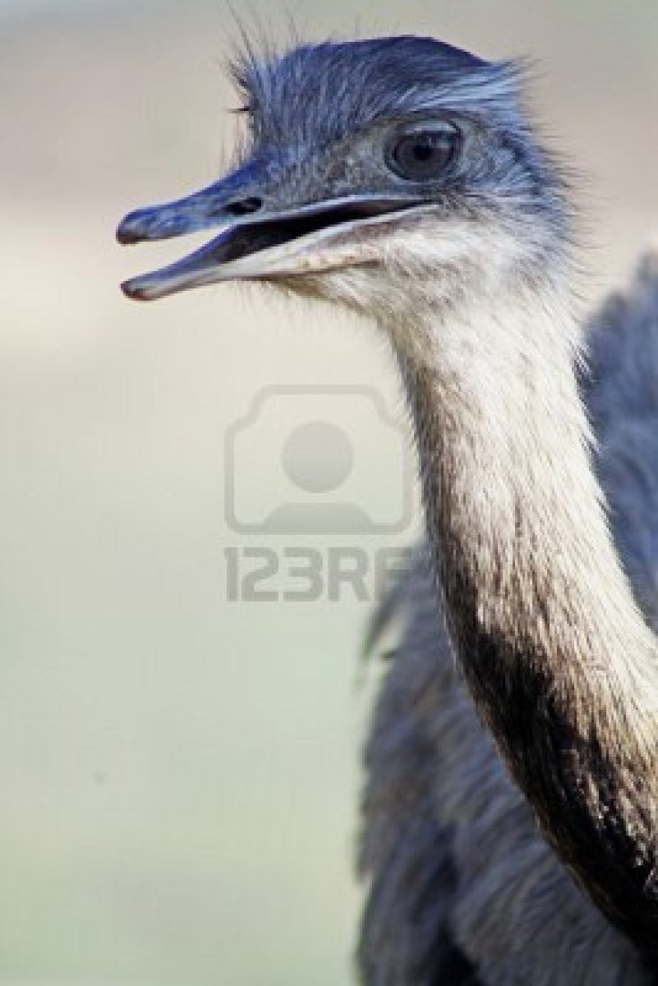 Rhea bird- Ostrich lives in Africa, whereas Rheas live in South America.• Ostrich is the largest living bird, while a rhea is about two third of its size .• Rhea males and females are similar in colouration, but ostrich male is black and female is brown. • Rhea can run fast, but ostrich is the fastest bipedal land animal. • Ostrich eggs are much larger than rhea  • Rheas have three toes in each foot, but ostriches have only two toes