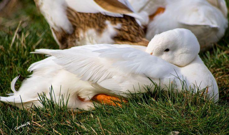 Vardag i bilder: Morgonpromenad ...Fåglar kvittrar, ankorna vila fo...