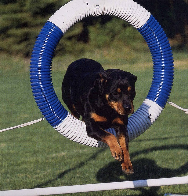 Rottweiler Agility | Dogs/Wolves | Pinterest | Princesses ...