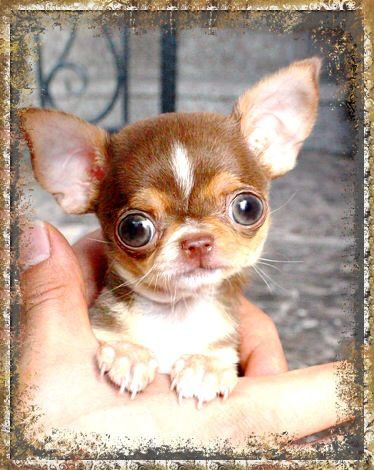 Chihuahua Oh what a cute face                                                                                                                                                                                 Más
