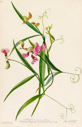 Lilian Snelling -- Lathyrus sylvestris, narrow-leaved everlasting pea. -- Lilian Snelling -- Artists -- RHS Prints